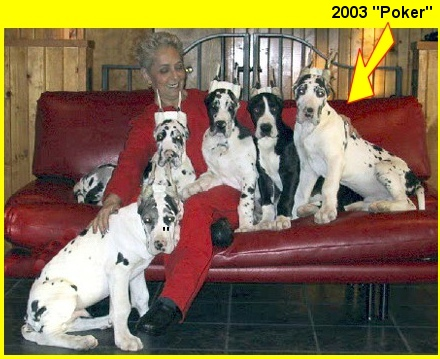 GMJ Harlequins: Quality breeders of Harlequin Great Danes